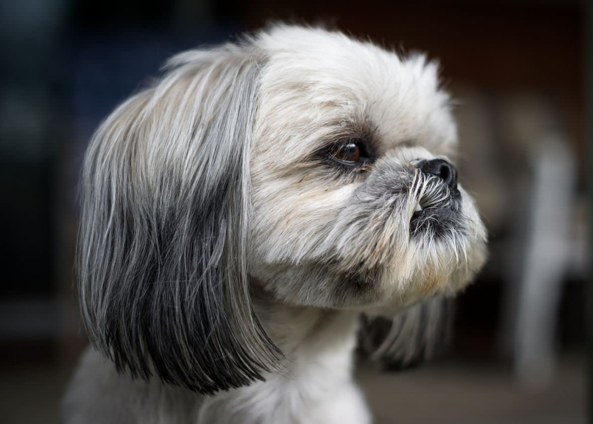 Shih Tzu Dogs and Puppies