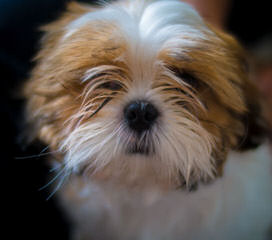 Beauty and the Beast Shih Tzu - Dog Breeders
