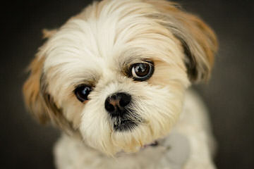 SimonShihTzu - Dog Breeders