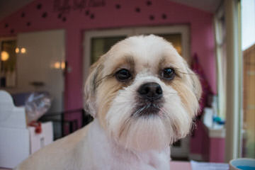 I Need A Shih Tzu Stud - Dog Breeders