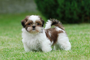 Dixidew Shih Tzu of Georgia - Dog Breeders