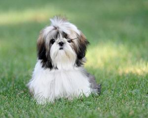 Shih Tzu Male Kc Reg Ready Now - Dog Breeders