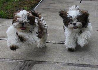 Chi-Shi Pups - Dog Breeders