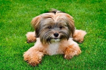 Shih Tzu Puppies For Sale - Dog Breeders