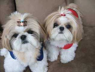 Iron Butterfly Shih Tzu - Dog Breeders