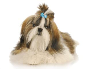 Corrine's shih tzu's - Dog Breeders