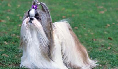 Iron Butterfly Shih Tzu - Dog Breeders