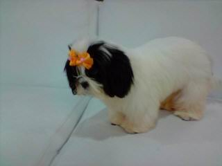Luxurious Shih tzu - Dog Breeders
