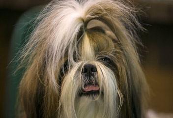 Shih Tzu Puppies - Dog Breeders