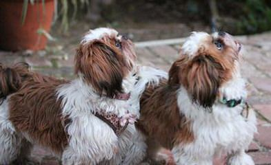 Sweet Shih Tzu's Of Surprise - Dog Breeders