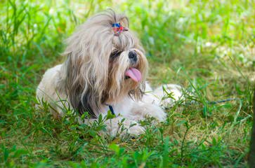 Pistol Creek Shih-tzu's - Dog Breeders
