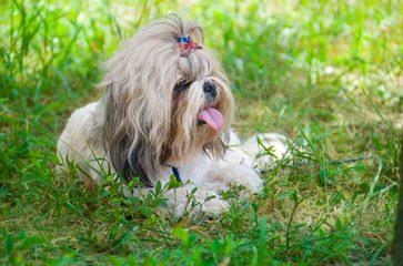 Calishihtzus - Dog Breeders