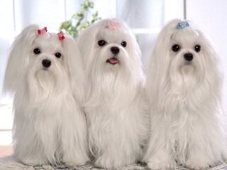Carolina Shih Tzu - Dog Breeders