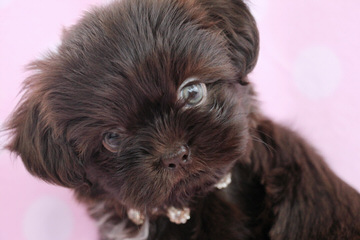 Shih-Tzu And Cockapoo Puppies - Dog Breeders