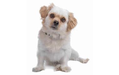 Ckc Reg. Imperial Shih-Tzu Puppy - Dog Breeders