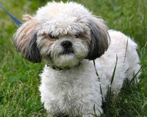 Geliu sala - Dog Breeders