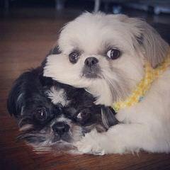 Tiny Tot Shih-Tzu - Dog Breeders
