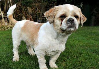 Rat Terrier Puppies - Dog Breeders