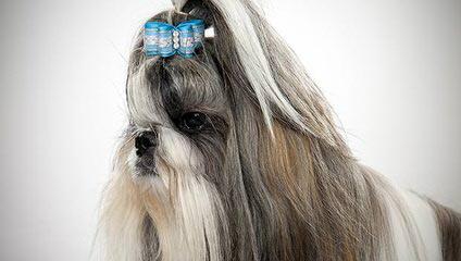 Sweet Shih Tzu's Of Surprise - Dog Breeders