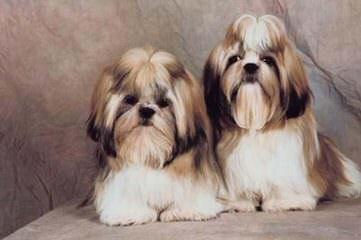 Shih Tzu Male Kc Reg Ready Now - Dog Breeders