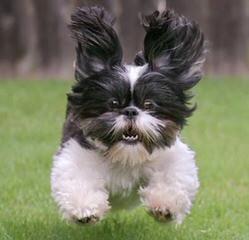 Shih Tzu's 4 Xmas - Dog Breeders