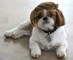Doranna's Tiny Shih Tzu's - Dog Breeders