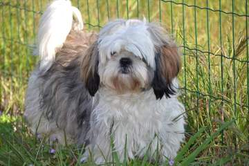 Akc Shih Tzu Pups In South Dakota - Dog Breeders