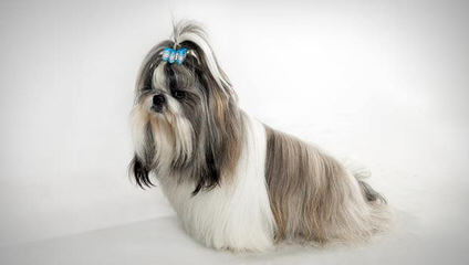 Glory Ridge Shih-tzu - Dog Breeders