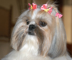 Amanda's Little Pins N Tzus - Dog Breeders
