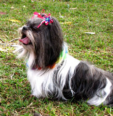 Shih Tzu Puppies - Dog Breeders
