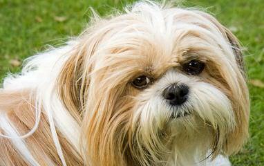 Shih Tzu Joy - Dog Breeders