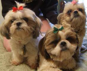 Rainbow's End Shih Tzu - Dog Breeders