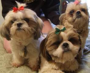 Phoenixshihtzu And Chinese Imperials - Dog Breeders