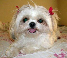 Timbercreek Puppies Shihtzu Shichon - Dog Breeders