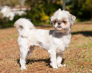 Ckc Reg. Imperial Shih-Tzu Puppy - Dog Breeders
