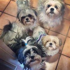 Silver Paw Kennels-Cavaliers, Cavachons, Bichons, Shichons, Shihtzus - Dog Breeders
