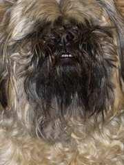 Empress Shih-tzu - Dog Breeders