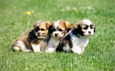 Shih-Tzu And Cockapoo Puppies - Dog Breeders