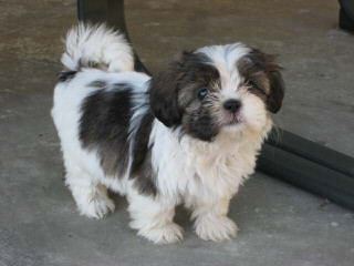 Ckc Reg. Imperial Shih-Tzu Puppy - Dog and Puppy Pictures