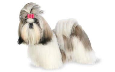 Florida fancy Shih Tzus - Dog Breeders
