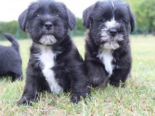 Del'tori Shih-Tzu's - Dog Breeders