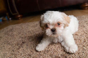 Glory Ridge Shih-tzu - Dog and Puppy Pictures