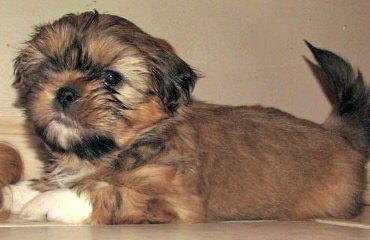 Britteli Shih Tzu - Dog Breeders