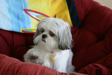 Amanda's Little Tzu's - Dog and Puppy Pictures