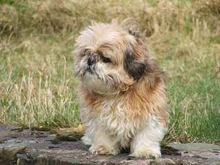 Moore Shih Tzus - Dog Breeders