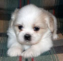 Shih-Tzu Puppies - Dog Breeders