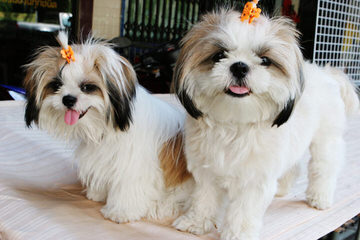 Windsong Shih Tzu - Dog Breeders