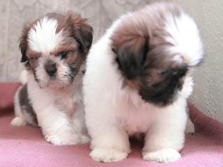 Diamond Moon Shih Tzu – Stud Service Available - Dog Breeders