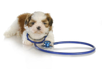 Tomorrow Shih Tzu - Dog and Puppy Pictures