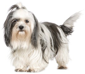 Akc Shih Tzu Male Available Now - Dog Breeders